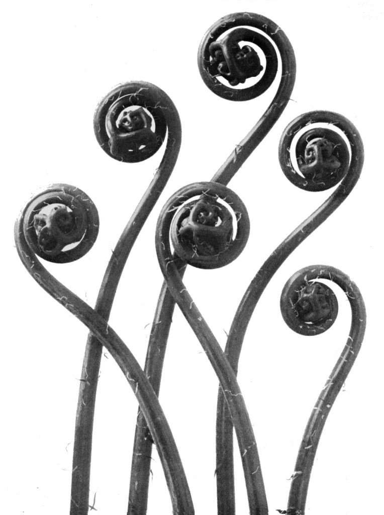 karl-blossfeldt-plant-portraits-adiantum-pedatum-maidenhair-fern-young-unfurling-fronds-12x